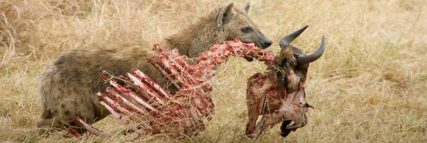 Hyena Game: This file is licensed under the Creative Commons Attribution-Share Alike 2.0 Generic license