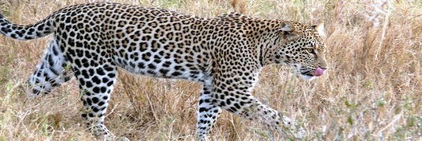 Leopard Game: This file is licensed under the Creative Commons Attribution-Share Alike 3.0 Unported, 2.5 Generic, 2.0 Generic and 1.0 Generic license
