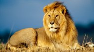 Live Africa Lion Webcam